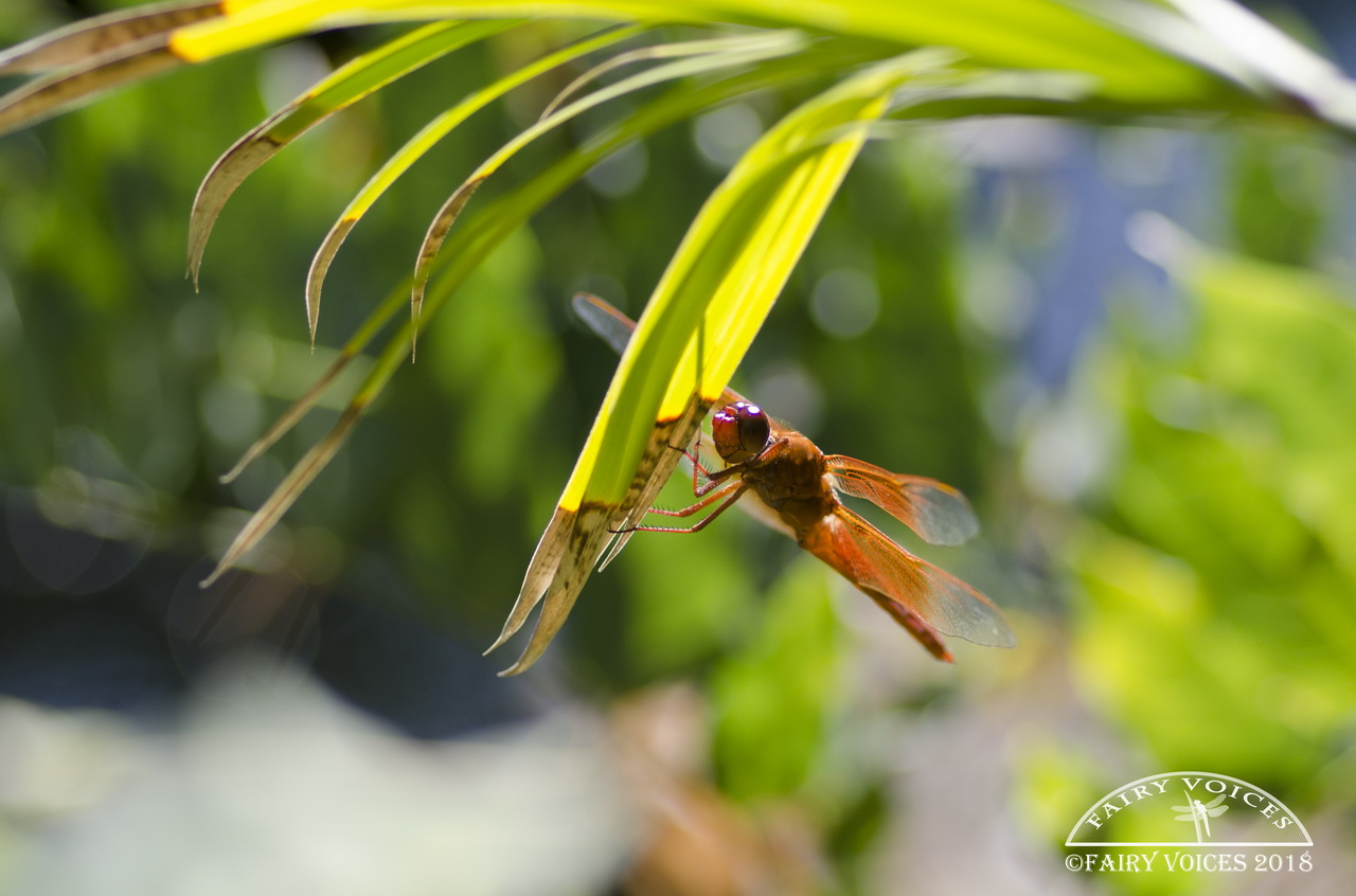discover dragonfly meaning and symbolism