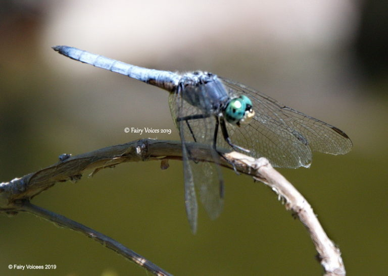 faerie realm dragonfly