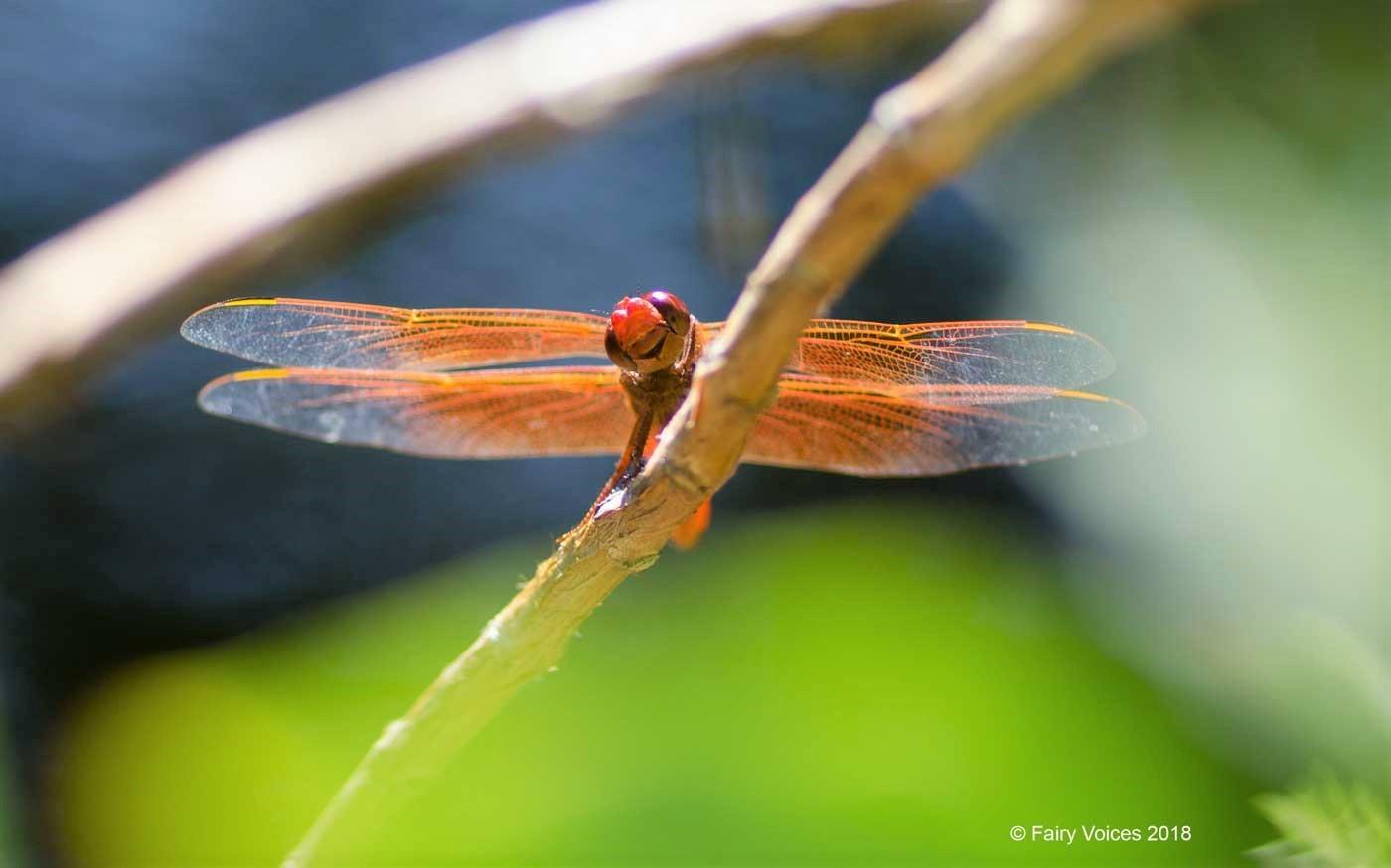 Fairy voices,The dragonfly fairy afidouc